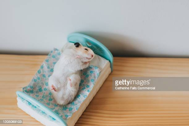 hamster rolling on a bed - lying in state stock pictures, royalty-free photos & images