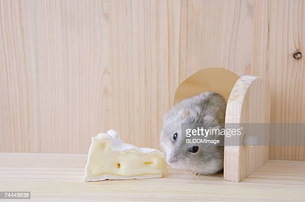 Hamster smelling cheese by door