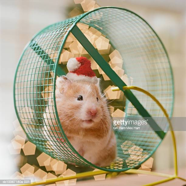 Hamster wearing Santa hat sitting in wheel