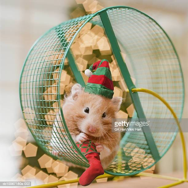 Hamster wearing Santa hat sitting on wheel holding miniature stocking
