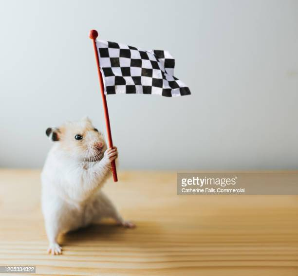 hamster with a chequered flag - hamster photos et images de collection