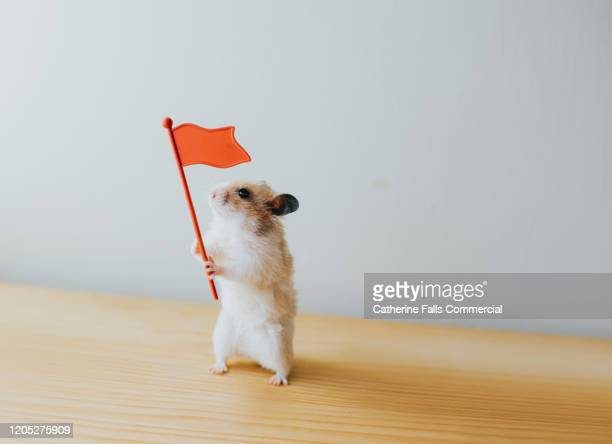 hamster with a flag - referendum stock pictures, royalty-free photos & images