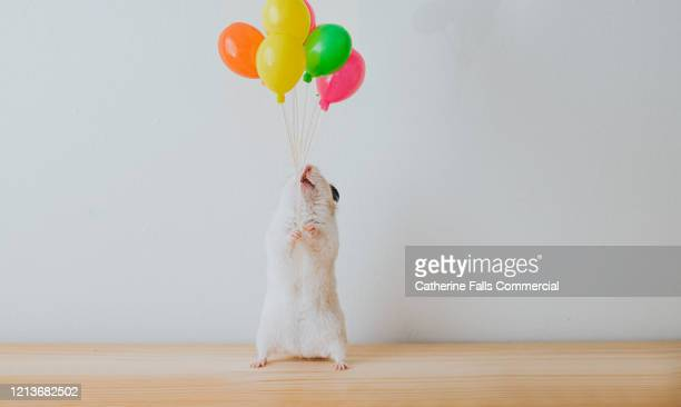 hamster with balloons - birthday stock pictures, royalty-free photos & images