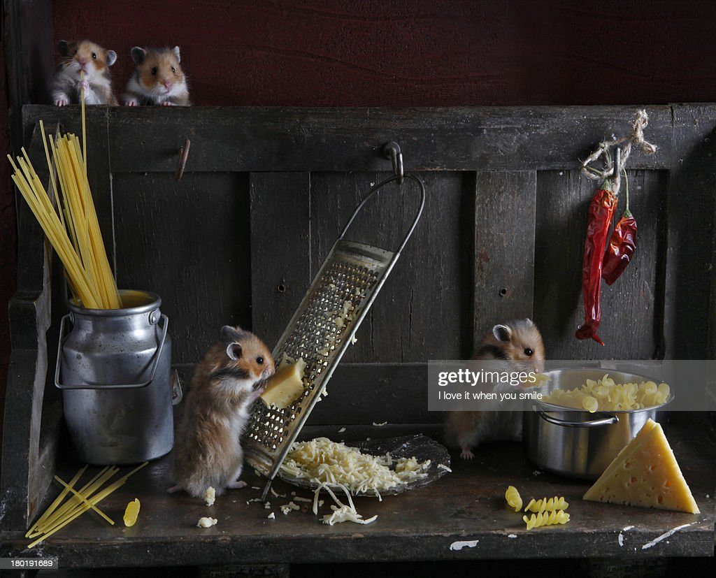 Hamsters in the kitchen rubbed cheese and cook spa : Stock Photo