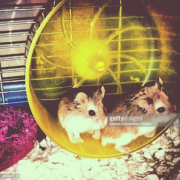 Hamsters On Wheel In Cage