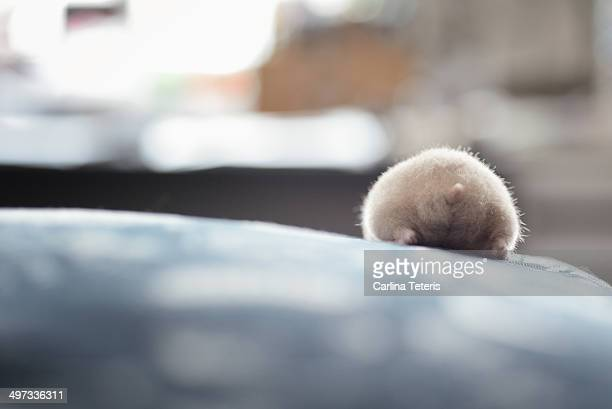 Hamuketsu - Hamster Butts