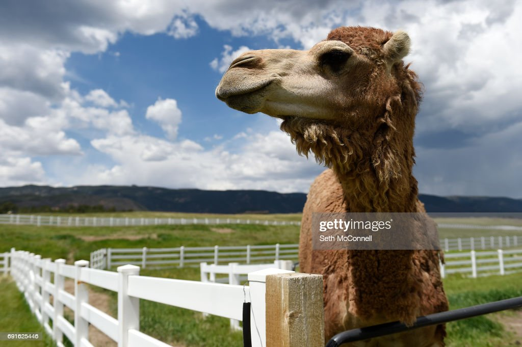 Han Solo the Camel waits to be fed fruit at Zoology Foundation's animal sanctuary on May 31, 2017, in Larkspur, Colorado. The Zoology Foundation runs a nonprofit animal sanctuary in Larkspur. They need to build a fence for their camels, Han Solo and Chewbacca, to straight out animal exhibition issue with the USDA, but they will soon launch programs at the sanctuary including a humane animal education program for kids ages 8-10.