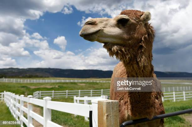 Han Solo the Camel waits to be fed fruit at Zoology Foundation's animal sanctuary on May 31 in Larkspur Colorado The Zoology Foundation runs a...