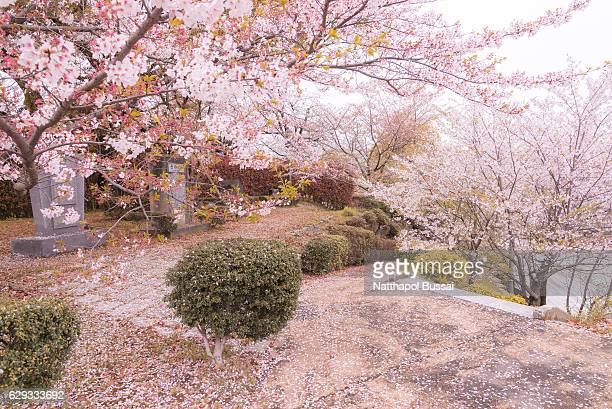 Hanami festival at Sakura park , sakura was blown by wind, Nagasaki , Japan.