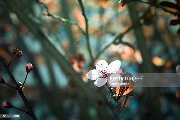 hanami - ornamental plum tree flower in bloom - minimalist living in japan ストックフォトと画像