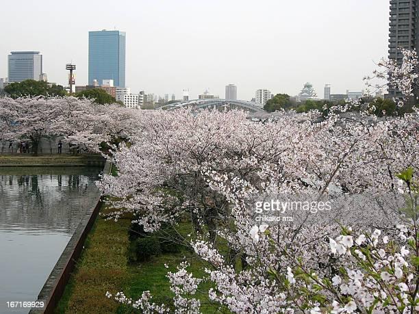 Hanami - sakura in Sakuranomiya