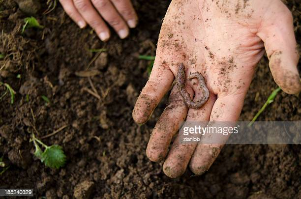 hand and earthworm - worm stock photos and pictures