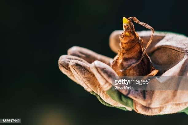 hand and plant bulb. - blumenzwiebel stock-fotos und bilder