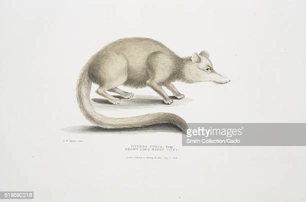 Hand colored print depicting a civet standing on four legs captioned Brown Long Nosed Civet from the book Illustrations of Indian Zoology Chiefly...