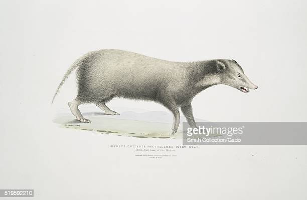 Hand colored print depicting a civet standing on his four legs captioned Collared Civet Bear from the book Illustrations of Indian Zoology Chiefly...