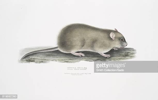 Hand colored print depicting a mouse captioned Indian Field Mouse from the book Illustrations of Indian Zoology Chiefly from the Collection of Major...