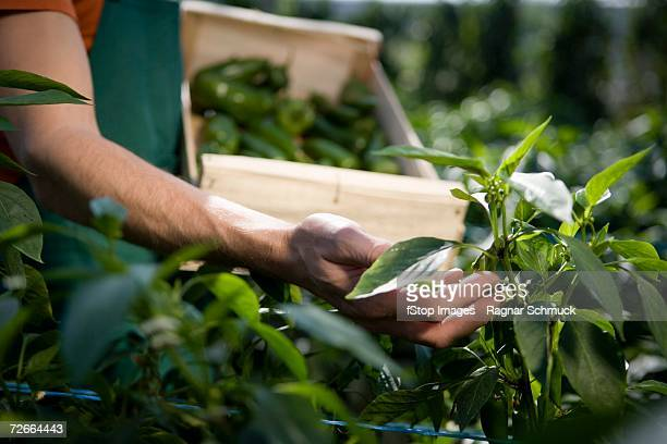 hand examining crop - green bell pepper stock pictures, royalty-free photos & images