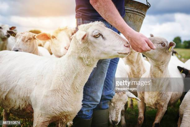 hand fed sheep are happy sheep - goats stock pictures, royalty-free photos & images
