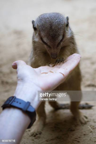hand feeding a meerkat - mangusta foto e immagini stock