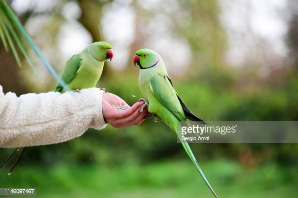 hand feeding a parakeet - ワカケホンセイインコ ストックフォトと画像