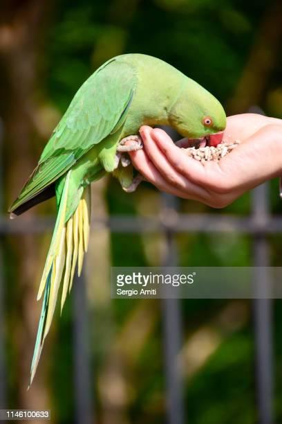 Hand feeding a parakeet