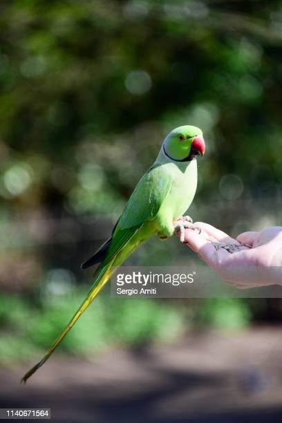 hand feeding a ring-necked parakeet - ワカケホンセイインコ ストックフォトと画像