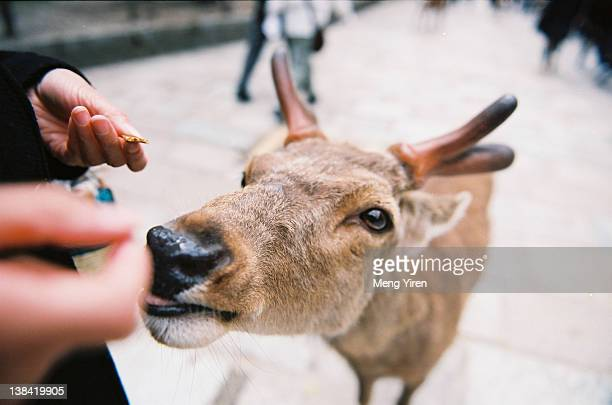 Hand feeding deer in Nara front of temple