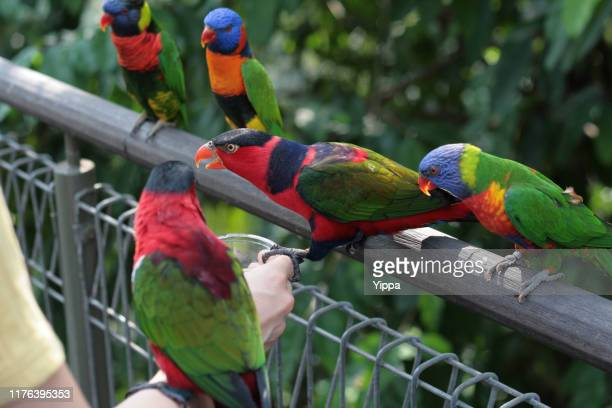 hand feeding group of rainbow lorikeet - jurong bird park stock pictures, royalty-free photos & images