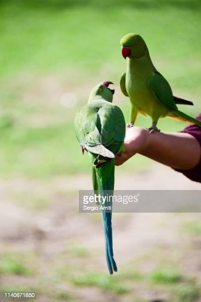 hand feeding ring-necked parakeets - ワカケホンセイインコ ストックフォトと画像