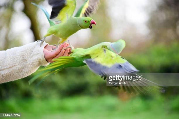 hand feeding two parakeets fighting - ワカケホンセイインコ ストックフォトと画像