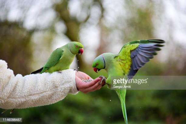 hand feeding two parakeets - ワカケホンセイインコ ストックフォトと画像