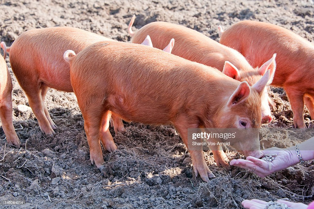 Hand Feeding Weaning Tamworth Piglets High Res Stock Photo