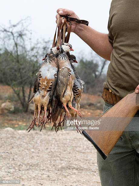 Hand from a hunter showing a group of dead partridges, (Alectoris rufa).