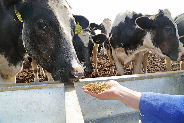hand full of grain cows in the background picture