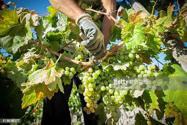 hand harvested white grapes - ヘレスデラフロンテラ ストックフォトと画像