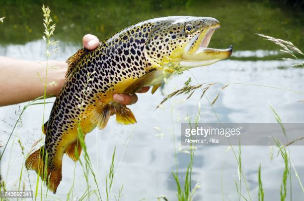 a hand holding a carinthian brown trout in front of a pond (austria) - carinthia stock pictures, royalty-free photos & images