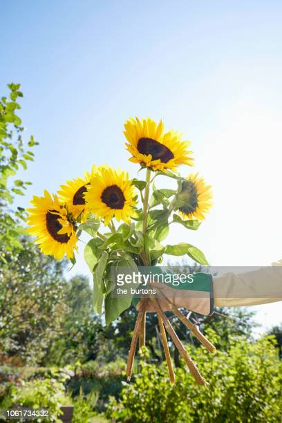 Sunflower Garden Stock Pictures Royalty Free Photos Images