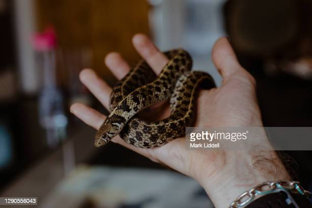 hand holding a pet garter snake indoors - pets stock pictures, royalty-free photos & images