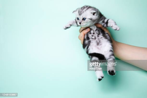 hand holding a shorthair striped tabby cat - kitten stock pictures, royalty-free photos & images