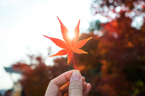 Hand holding an autumn red maple leaf - gettyimageskorea