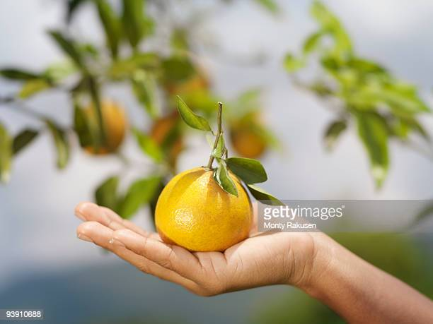 hand holding an orange - orange orchard stock photos and pictures