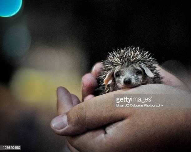Hand holding baby hedgehog
