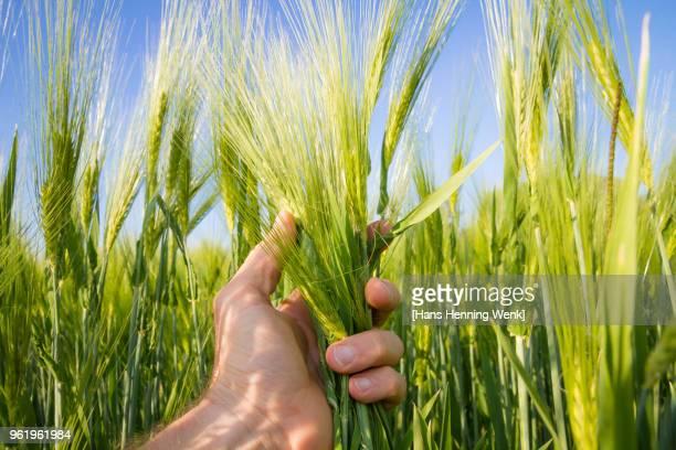 Hand holding Barley ears