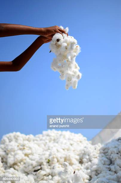 Hand holding Cotton for sale, Gujarat, India