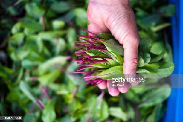 hand holding fresh harvested red dandelion greens - feuille de pissenlit photos et images de collection