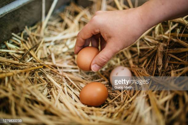 hand holding fresh organic eggs at farm. - animal egg stock pictures, royalty-free photos & images