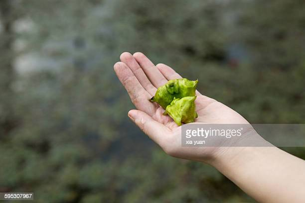 hand holding fresh picked water caltrops - trapa stock pictures, royalty-free photos & images