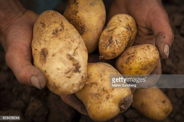 Hand holding freshly dug organic potatoes