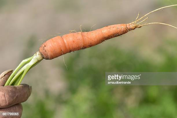 Hand holding freshly picked carrot