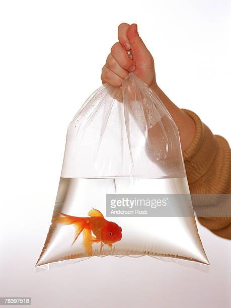 Hand holding goldfish in bag
